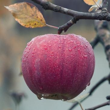 apple dream